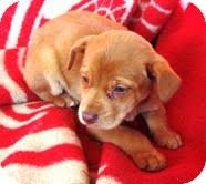 Golden Retriever Mix Puppy for adoption in Scranton, Pennsylvania - Cozette