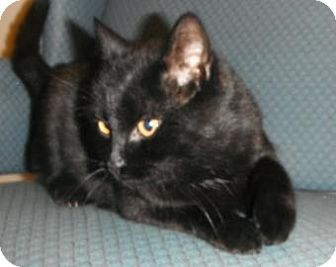 Domestic Shorthair Cat for adoption in Jackson, Michigan - Blackie