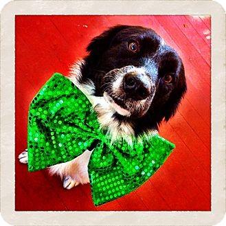 Border Collie/Labrador Retriever Mix Dog for adoption in Tampa, Florida - Luke