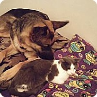 Adopt A Pet :: KIX (good with dogs) - Sterling Hgts, MI