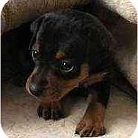 Adopt A Pet :: Alexis - Minneapolis, MN