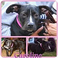 Adopt A Pet :: Caroline - Toledo, OH