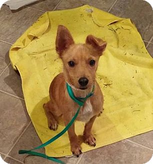 Podengo Portugueso/Terrier (Unknown Type, Small) Mix Puppy for adoption in Vancouver, Washington - Buzzbo (Courtesy Listing)