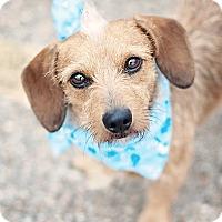 Adopt A Pet :: Archie - Kingwood, TX