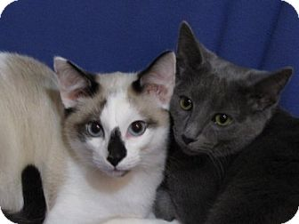Siamese Cat for adoption in Winder, Georgia - Leonard and Lucy
