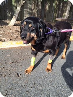 Rottweiler Mix Dog for adoption in Richmond, Virginia - Trudy