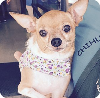 Chihuahua Mix Dog for adoption in San Diego, California - Nina