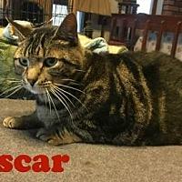 Domestic Shorthair Cat for adoption in East Stroudsburg, Pennsylvania - Oscar