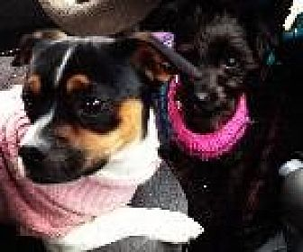 Jack Russell Terrier/Chihuahua Mix Dog for adoption in Pt. Richmond, California - REX and JEMMA URGENT
