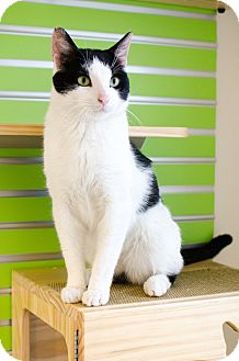 Domestic Shorthair Cat for adoption in Peace Dale, Rhode Island - Domino