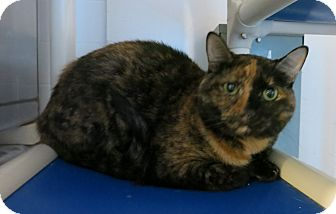 Domestic Shorthair Cat for adoption in Geneseo, Illinois - Kendra