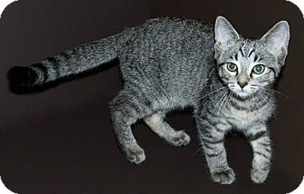 Domestic Shorthair Kitten for adoption in Warren, Michigan - Daniel Tigger