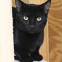 Domestic Shorthair Cat for adoption in Hammond, Louisiana - Pine