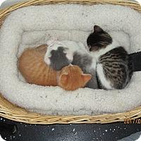 Adopt A Pet :: Kittens - Jeffersonville, IN