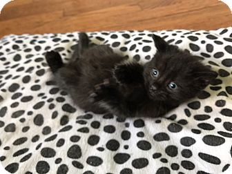 Domestic Shorthair Kitten for adoption in Highland Park, New Jersey - Buddha