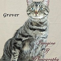 Domestic Shorthair Cat for adoption in Oklahoma City, Oklahoma - Grover aka Gabriel