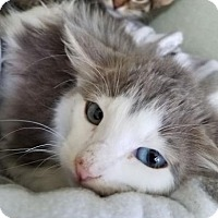 Adopt A Pet :: Skyline Feline - Mission, KS