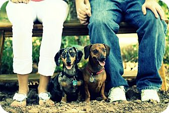 Dachshund/Dachshund Mix Dog for adoption in Gilbert, Arizona - Baxter