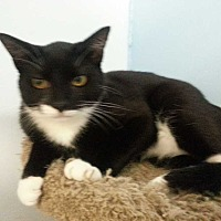 Domestic Shorthair Cat for adoption in Margate, Florida - Betsy