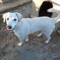 Retriever (Unknown Type) Mix Dog for adoption in Meadow Lake, Saskatchewan - Buffy