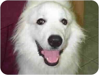 Great Pyrenees Dog for adoption in Kyle, Texas - Zeik