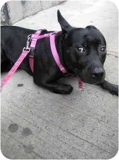 Patterdale Terrier (Fell Terrier)/Lakeland Terrier Mix Dog for adoption in Long Beach, New York - Starr