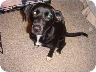 Spaniel (Unknown Type)/Labrador Retriever Mix Dog for adoption in Boca Raton, Florida - Found Puppy