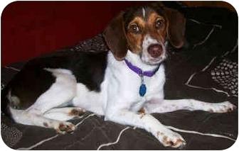 Beagle/Dachshund Mix Dog for adoption in Latrobe, Pennsylvania - Tokie