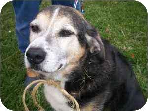 Beagle/German Shepherd Dog Mix Dog for adoption in Brighton, Michigan - Stray Dog