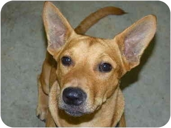 Corgi Mix Dog for adoption in Homestead, Florida - Spanky