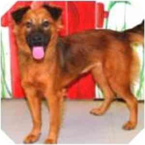 Beagle/Labrador Retriever Mix Dog for adoption in Sugar Land, Texas - -Ruby