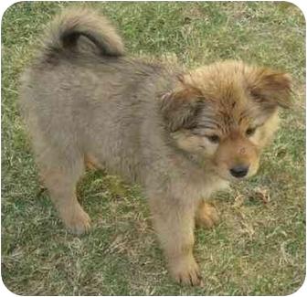 Labrador Retriever/Golden Retriever Mix Puppy for adoption in Phoenix, Arizona - Golden Delicious (apple puppy)