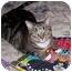 Photo 2 - Domestic Shorthair Cat for adoption in Avon, New York - Sheba