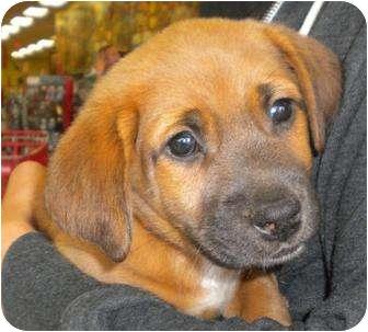 Corgi Mix Dog for adoption in Humble, Texas - Ro-Grr