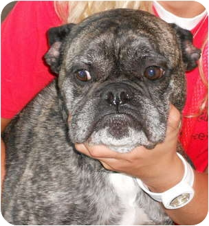 english bulldog michigan buster adopted dog buster troy mi english bulldog 1204