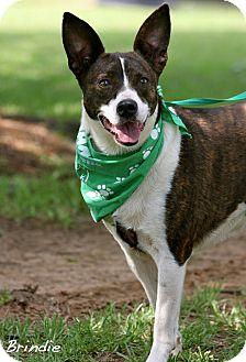 Terrier (Unknown Type, Medium) Mix Dog for adoption in Wilmington, Delaware - Brindie