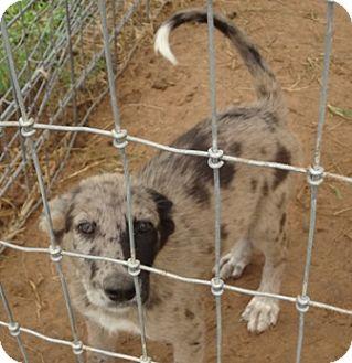Australian Shepherd/Shepherd (Unknown Type) Mix Puppy for adoption in San Antonio, Texas - Maxine