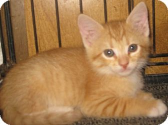 Maine Coon Kitten for adoption in Dallas, Texas - Cupcake