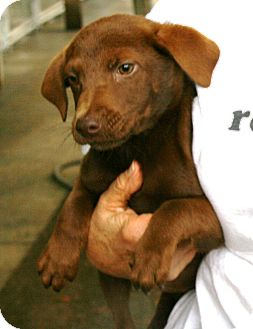 Labrador Retriever Puppy for adoption in Snohomish, Washington - Perfect little 8 week Polly!