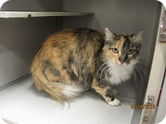 Calico Cat for adoption in Collinsville, Oklahoma - Lydia
