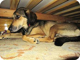 Shepherd (Unknown Type) Mix Dog for adoption in Rockaway, New Jersey - Belle