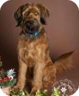 Briard Mix Dog for adoption in Phoenix, Arizona - Buck
