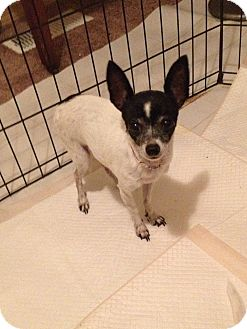 Chihuahua Dog for adoption in Seattle, Washington - Rosey