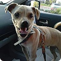 Adopt A Pet :: Barney - Sparks, NV