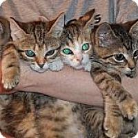 Adopt A Pet :: Girl Kittens - Acme, PA