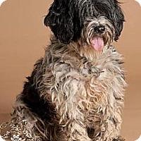 Adopt A Pet :: Rumpy - COCKAPOO! - Phoenix, AZ