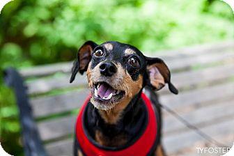 Miniature Pinscher Dog for adoption in Norwalk, Connecticut - Princess
