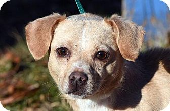 Chihuahua Mix Dog for adoption in New Haven, Connecticut - SUSIE