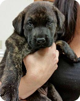 Labrador Retriever Mix Puppy for adoption in Ft. Lauderdale, Florida - Camilla