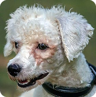 Bichon Frise/Poodle (Miniature) Mix Dog for adoption in Cary, North Carolina - Artie--ADOPTED
